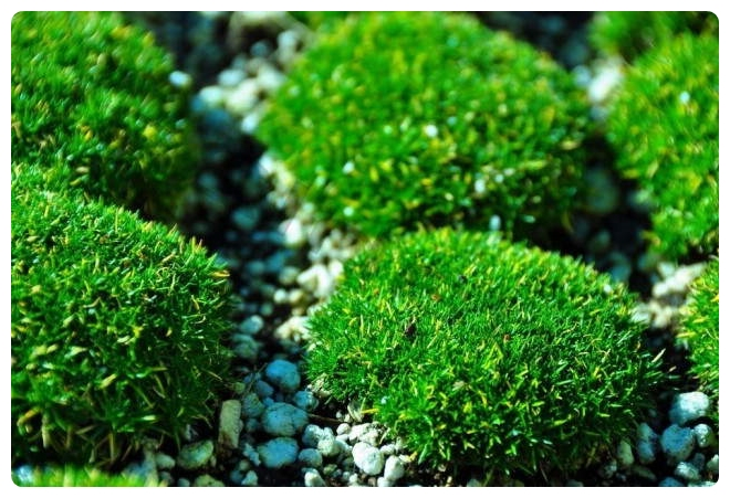 Irish-moss-ground-cover-invasive