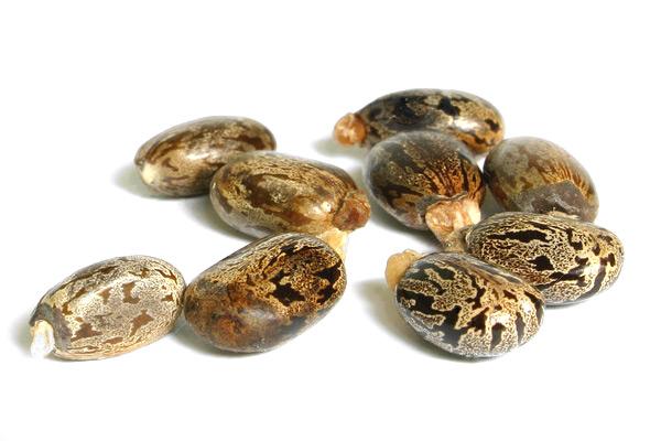 nasiona-ricinus-communis